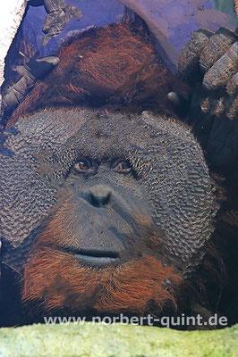 """Zoo Osnabrück - Orang Utan """"Buschi"""""""