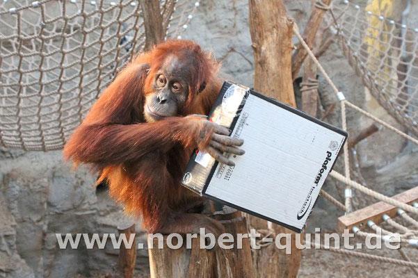 Zoo Gelsenkirchen - Orang Utan