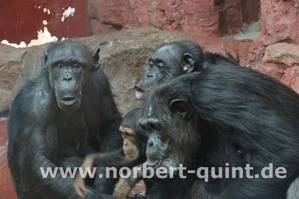 Zoo Gelsenkirchen - Schimpansen