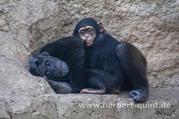 Zoo Osnabrück - Schimpansen