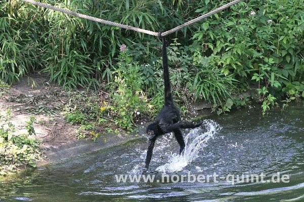 Zoo Osnabrück  (Braunkopfklammeraffe)