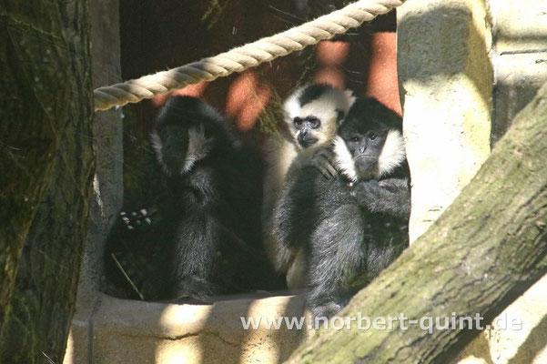 Zoo Osnabrück - Weißwangenschopfgibbons