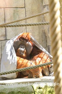 Zoo Osnabrück - Orang Utan Buschi