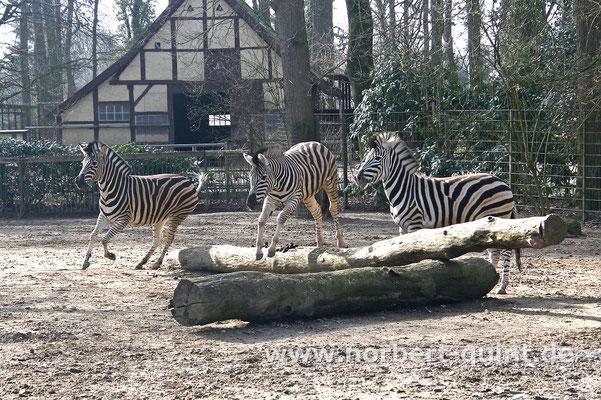 Naturzoo Rheine - Chapman Zebras