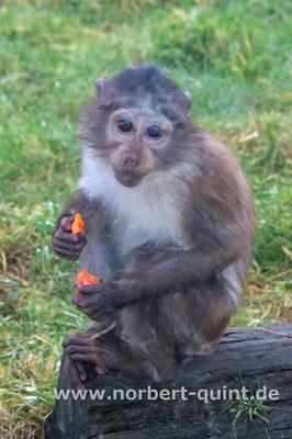 Zoo Osnabrück - Weissscheitelmangabe