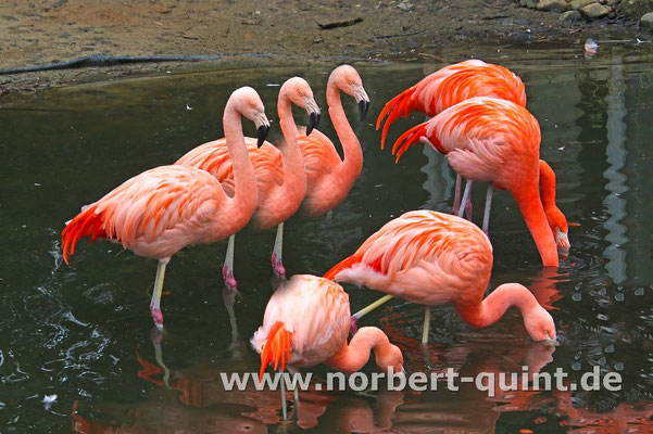 Zoo Osnabrück - Flamingos