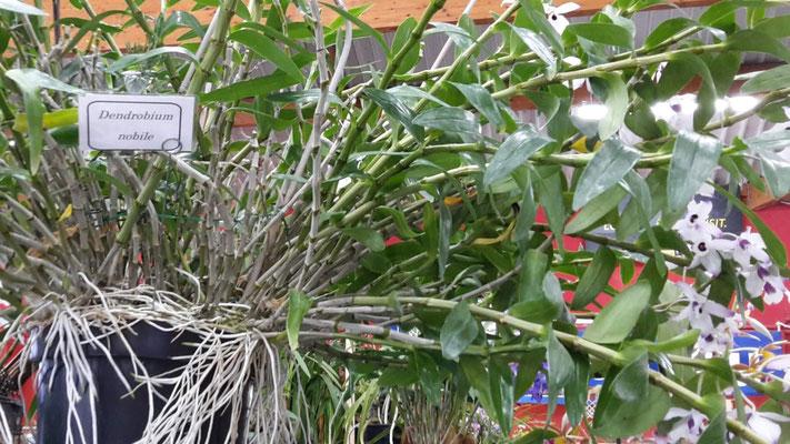 arrosage-orchidee-dendrobium-nobile