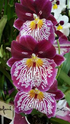 arrosage-orchidee-pensee-miltonia-miltoniopsis