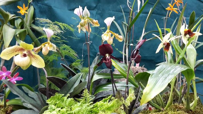 arrosage-orchidee-paphiopedilum