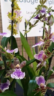 arrosage -orchidee-zygopetalum-violet