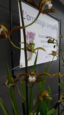 arrosage-orchidee-cymbidium-erythraeum