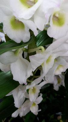 arrosage-orchidee-dendrobium-nobile-blanc