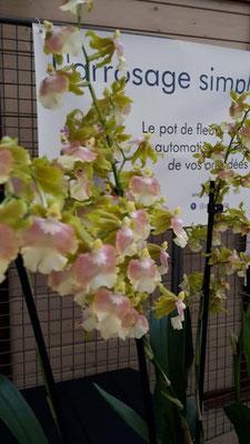 arrosage-orchidee-pupukea