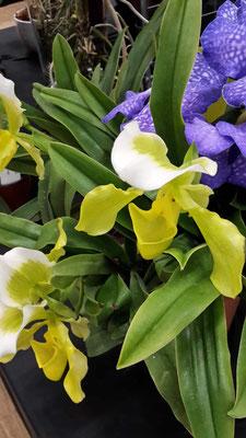 arrosage-orchidee-sabot-de-venus