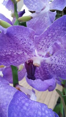 arrosage-orchidee-vanda-blue-magic