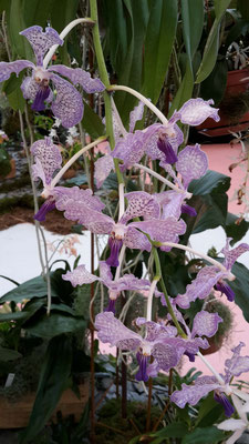 arrosage-orchidee-vanda