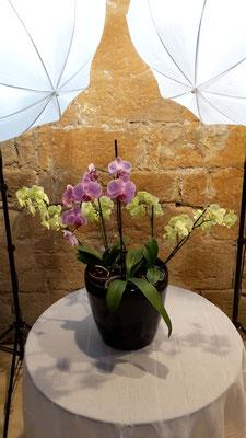 arrosage-orchidée-phalaenopsis-fontfroide
