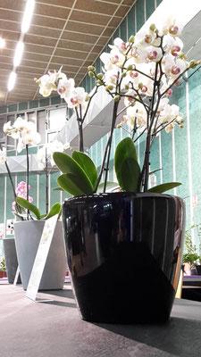 arrosage-automatique-orchidee-phalaenopsis