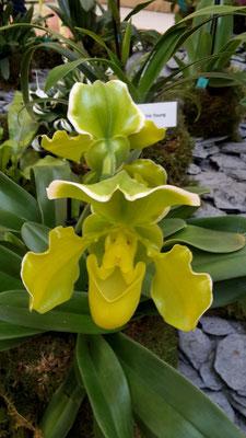arrosage-orchidee-paphiopedilum-vert