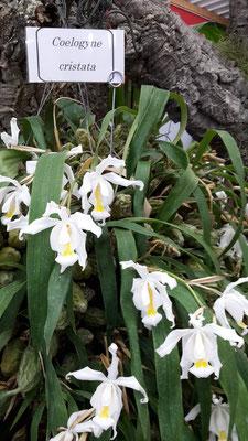 arrosage-orchidee-coelogyne-cristata