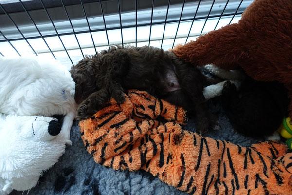 Franky en de tijger