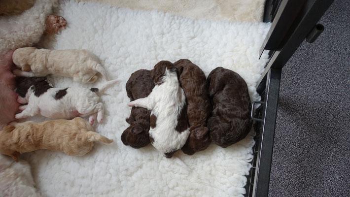 Biene heeft soms maar een deel van de pups, de anderen hebben niet door dat mama er is.