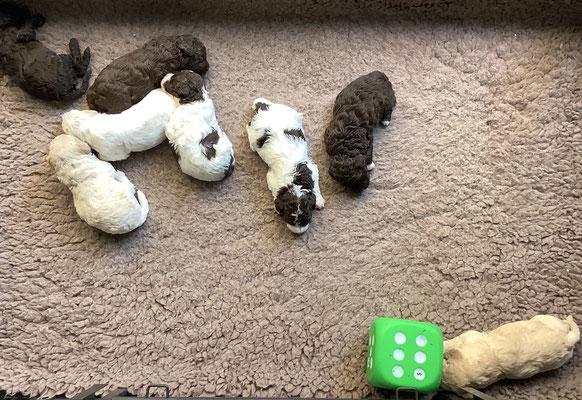 Het is heel warm, de pups liggen niet op een kluitje maar verspreid door de kist.