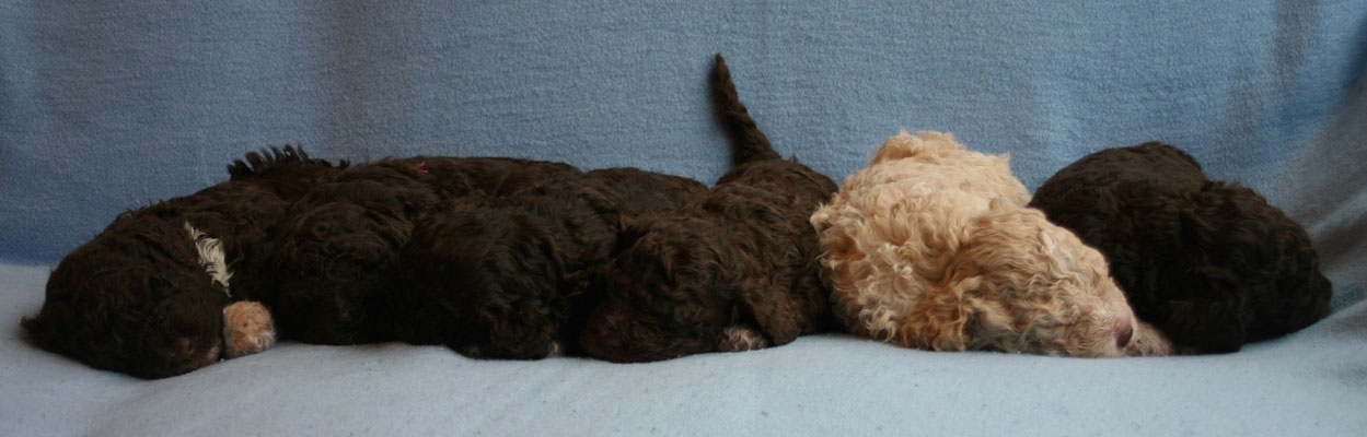 op een rij, het is lastig om van bruine pups een goede foto te nemen