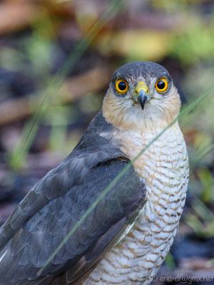 Der Sperber jagt auch Kleinvögel in den Gärten. Foto: Eric Dienesch