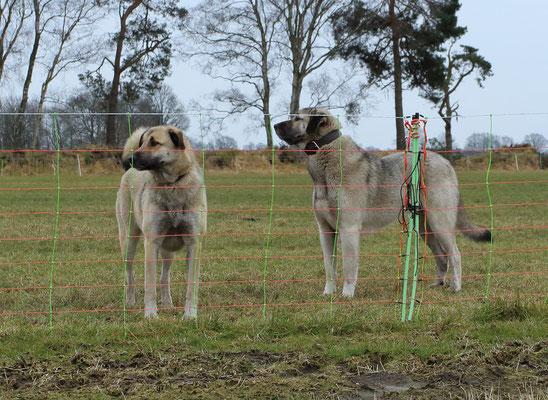 Elektronetz mit Herdenschutzhunden (Foto: Bärbel Wittor)