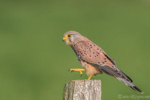 Charakteristisch für das Männchen ist sein hellgrauer Kopf. Foto:  Erik Dienesch