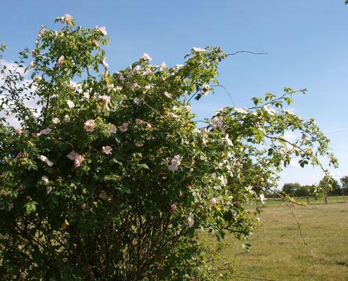 Im Juni blühen die Hunds- oder Heckenrosen in der freien Landschaft (Jutta Over)