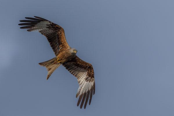 Im Englischen heißt der Rotmilan Red Kite, also roter Drache. Foto: Eric Dienesch