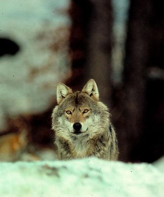 Wolf (H. Pollin)