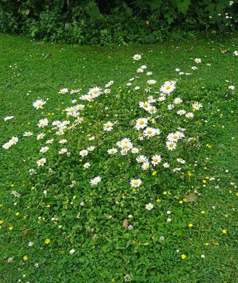 Bei Karin und Gerhard Schaad ist der Rasen dicht mit Kräutern durchsetzt.