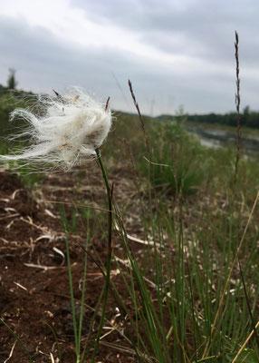 """Das Wollgras lässt seine """"Haare"""" im Wind wehen."""