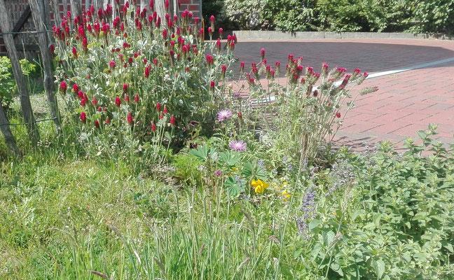 Inkarnatklee auf einem Vorgartenbeet (Claudia Lake)