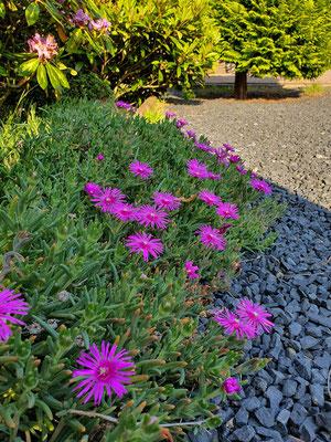 Christian und Lili Kohlmann fragten ihren Vermieter, ob sie in dem geschotterten Vorgarten mal die aufkeimenden Pflanzen stehen lassen dürften. Und siehe da, es kam nicht nur Unkraut! (Foto: Christian Kohlmann)