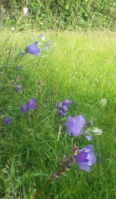 Bei Margitta Nitt läuten Glockenblumen den Sommer ein.
