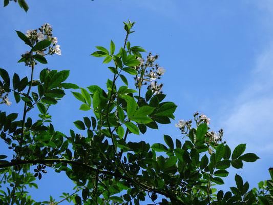 """Die Ramblerrose """"Bobby James"""" klettert auch in höhere Bäume (Jutta Over)"""