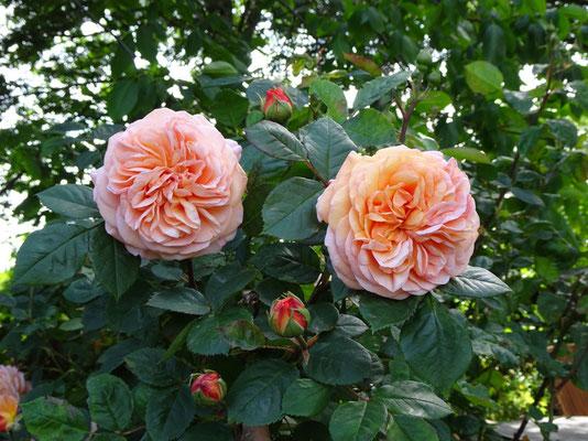Gefüllte Rosen wie diese geben den Bienen keine Nahrung. (Jutta Over)