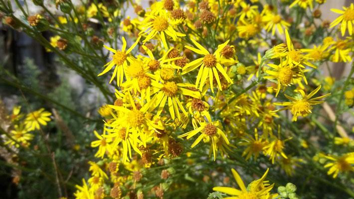 Das Jakobskreuzkraut in voller Blüte (Foto: Marilyn Utke)