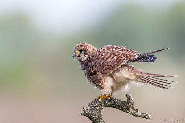 Beim Turmfalken Weibchen sind der Rücken, Kopf und Schwanz rostbraun gefärbt. Foto: Erik Dienesch