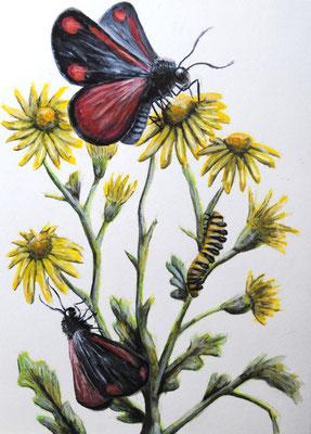 Auf der Zeichnung von Simon Sänger kommt Alles zusammen. Der Blutbär als Raupe und Schmetterling auf dem Jakobskreuzkraut.