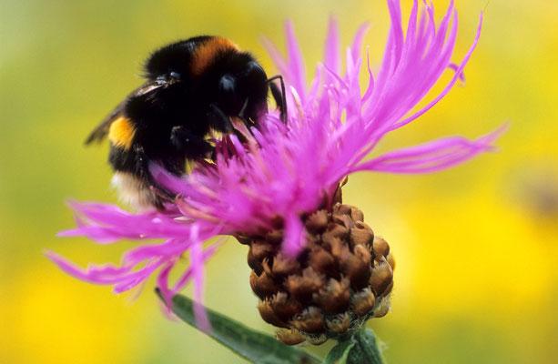 Hummel auf Flockenblume (Erhard Nerger)
