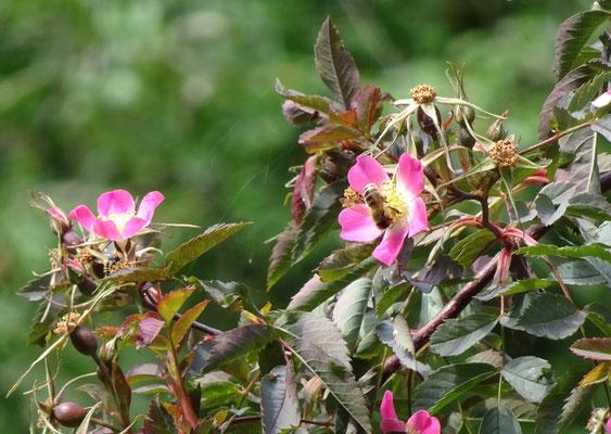 Die Hechtrose eignet sich gut für Naturgärten (Foto: Jutta Over)