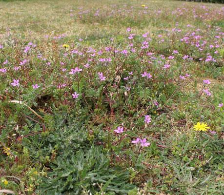 Reiherschnabel auf dem Rasen (Carsten Marien)