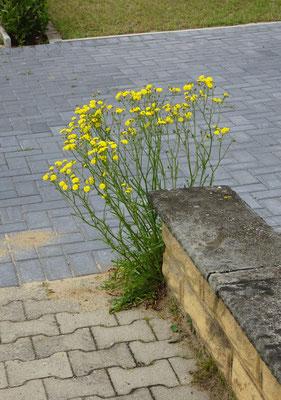 Viele Blüten aus einem kleinen Samen! (Foto: Over)