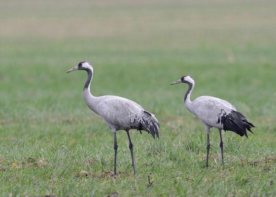 Der Kranich ist mit 130 Zentimetern der größte Vogel Europas! Foto: Erhard Nerger
