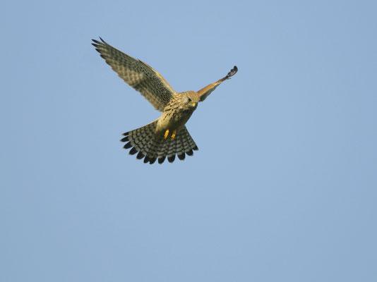 Der Turmfalke hat beim Rüttelflug seine Flügel weit ausgestreckt. Foto: Erhard Nerger